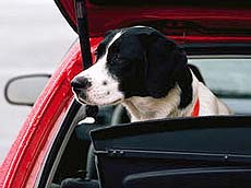 Dog Traveling in Car